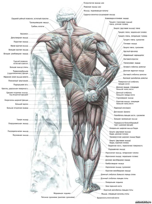 Мышечный фото